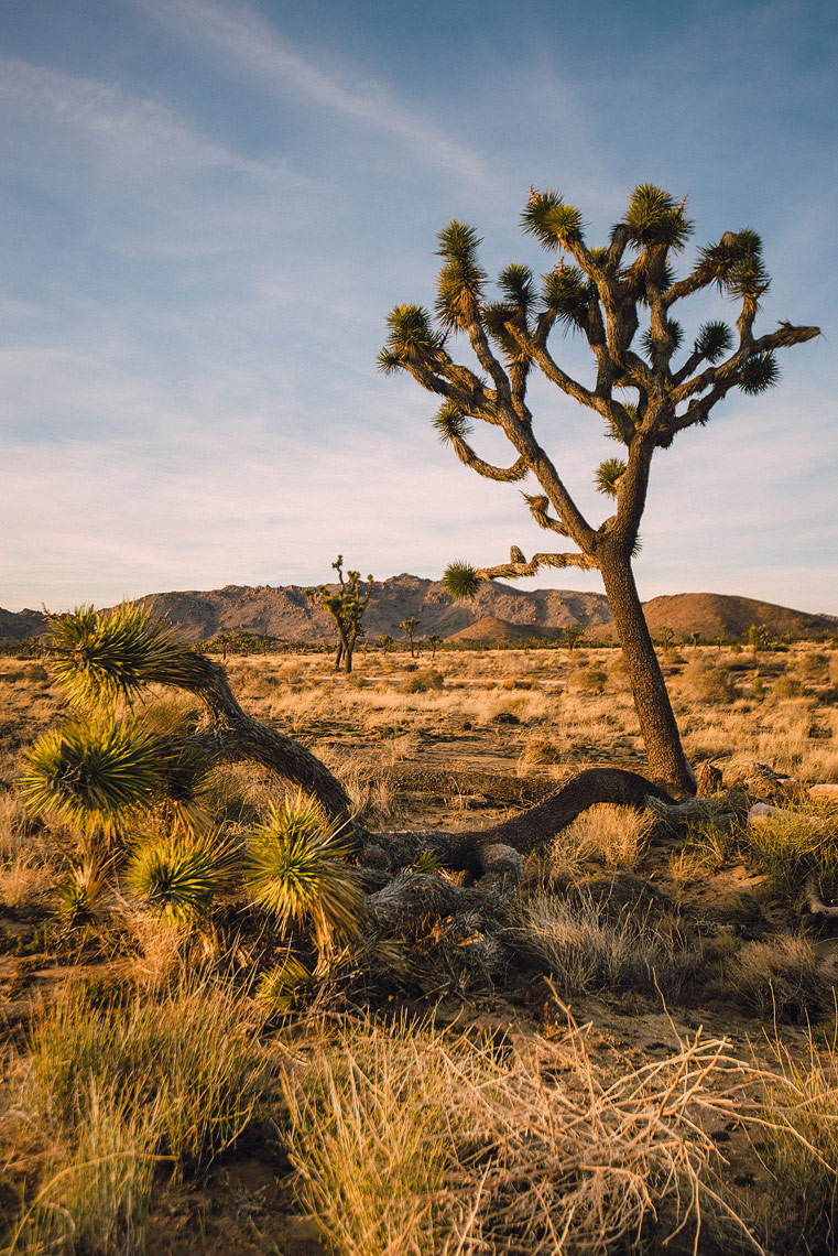 joshua-tree-travel