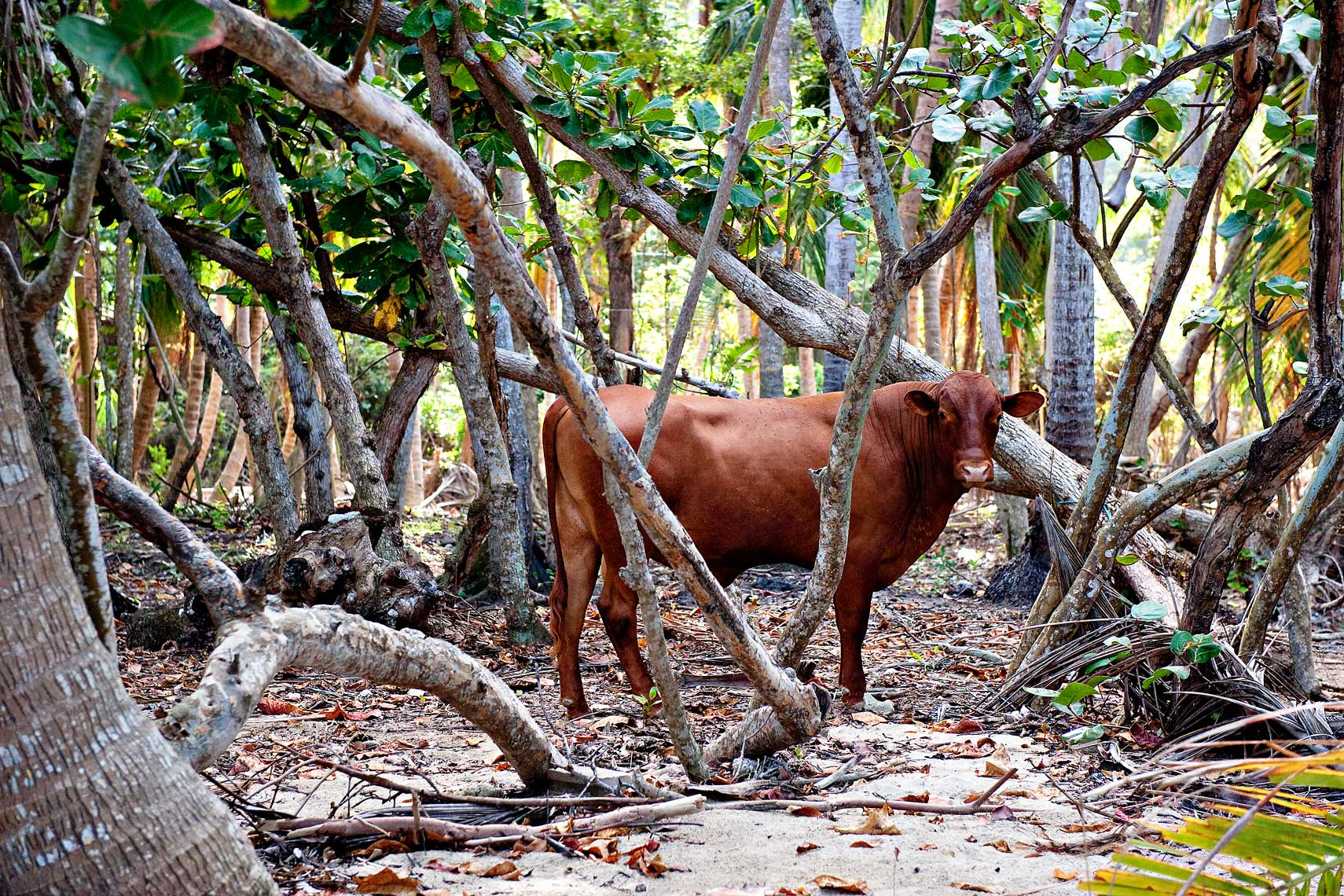 Cow among trees on beach in Tortola, British Virgin Islands.